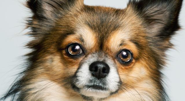 フェラの時真似したい涙目の犬