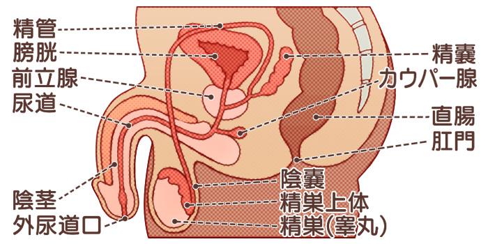 男性生殖器の図解