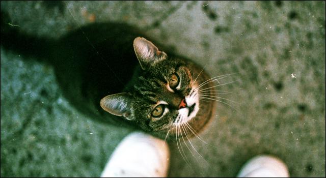 認められたいオタク女子に似ている猫
