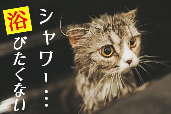 シャワー嫌いな猫